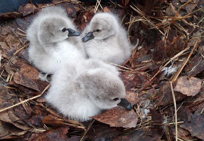 В Костроме стали родителями пара черных лебедей из зоопарка, фото-1