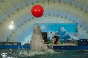В Кострому с «гастролями» приехали дельфины-белухи и морские котики