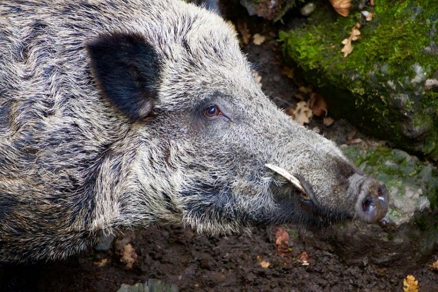 ВКостромской области кабан убил охотника