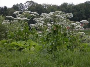 Костромичей призывают сообщать о местах произрастания борщевика